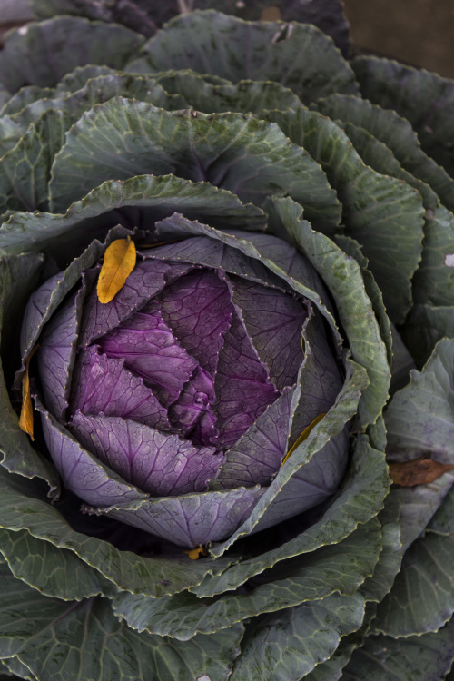 flowering cabbage 2014