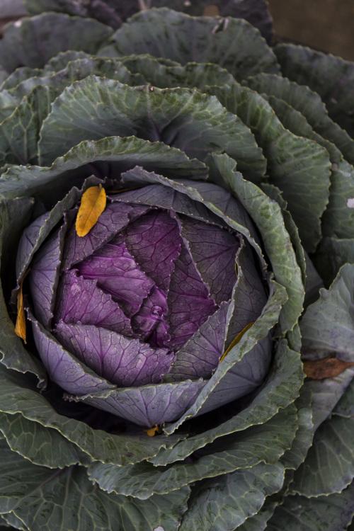 flowering cabbage 2014